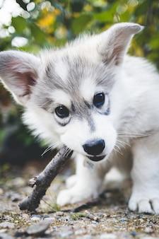 Короткошерстный бело-серый щенок, кусающий коричневую ветку дерева
