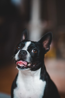 黒と白のショートコーティングされた犬