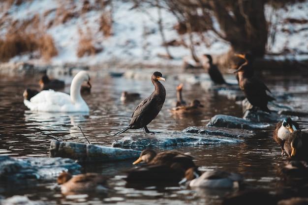 Черные утки и белый лебедь плавают на воде