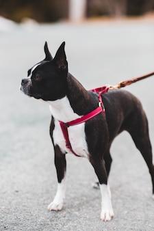 赤い鎖で黒と白のショートコーティングされた犬