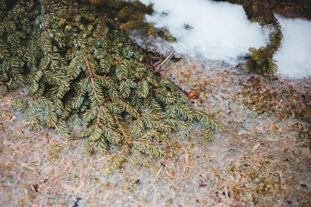 Зеленая сосна на коричневой земле