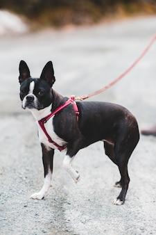 赤い鎖で黒と白のショートコートの小型犬