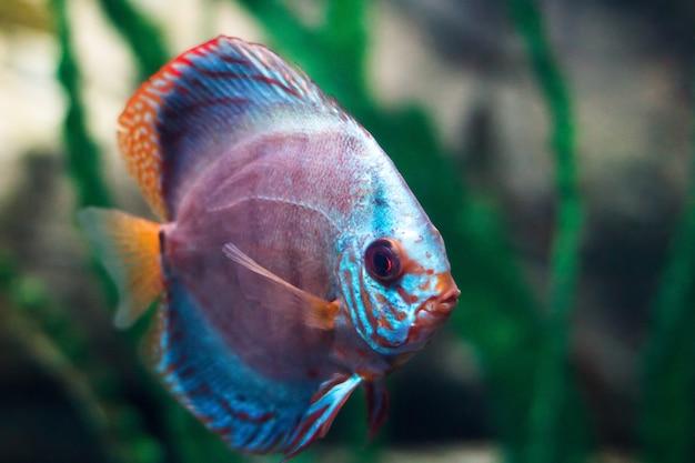 緑の背景に水族館で熱帯魚の一種の円盤投げ