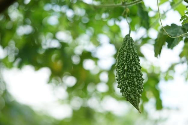 Горькая тыква из горького вкуса, который таиланд часто употребляет с чили-пастой.