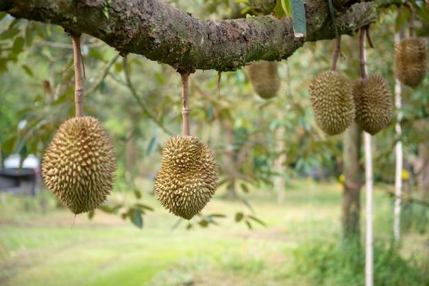 ドリアンは利回り段階にあります。果樹園、チャンタブリー県、タイ
