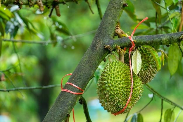 ドリアンは木の上の製品を収穫する準備ができており、商人が中国に売買するのを待っています。