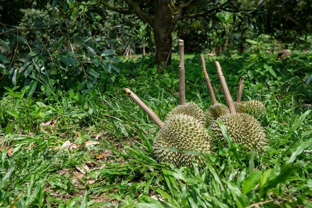 タイ南部のドリアンは中国で非常に人気があります。