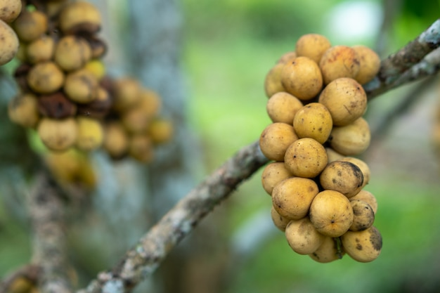 タイ東部のロングコングフルーツ販売のための美しい結果。
