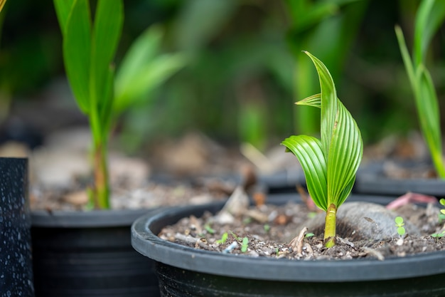 Маленькие кокосовые пальмы находятся в питомнике перед посадкой в почву.