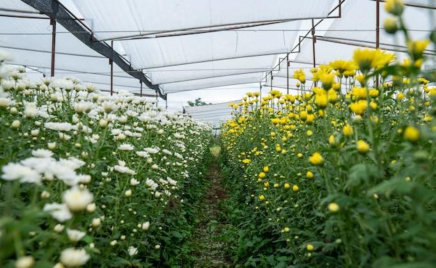 Желтые и белые цветы хризантемы в саду выросли на продажу и для посещения.