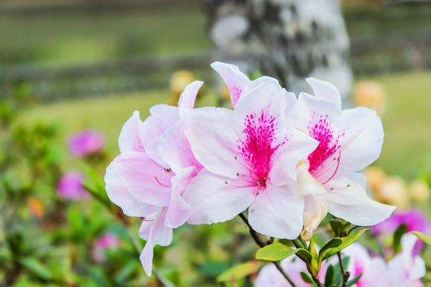 美しい白い淡いピンクのツツジの花が植物の庭で冬に咲く
