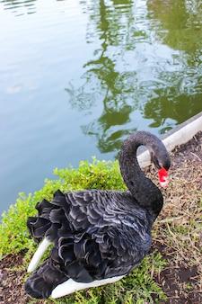 Черный лебедь на грунте первого этажа возле водного бассейна в ботаническом саду.