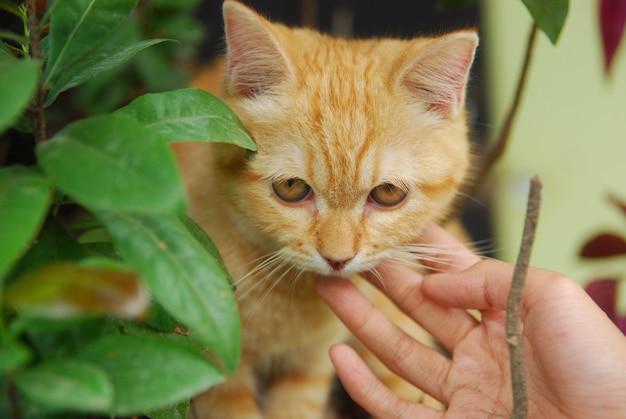 女性の手が緑の葉の後ろにいる赤い猫をなでます