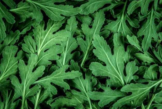 新緑の菊は、デザインの葉のパターンのためのテクスチャの背景を残す
