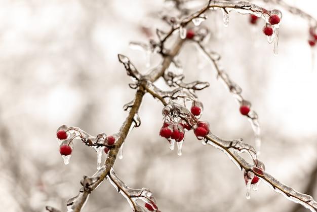 氷で覆われた赤いバラのヒップ果実と木の枝