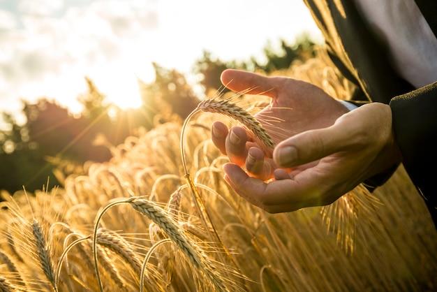 小麦の熟した耳をすくうビジネスマンの手のクローズアップ