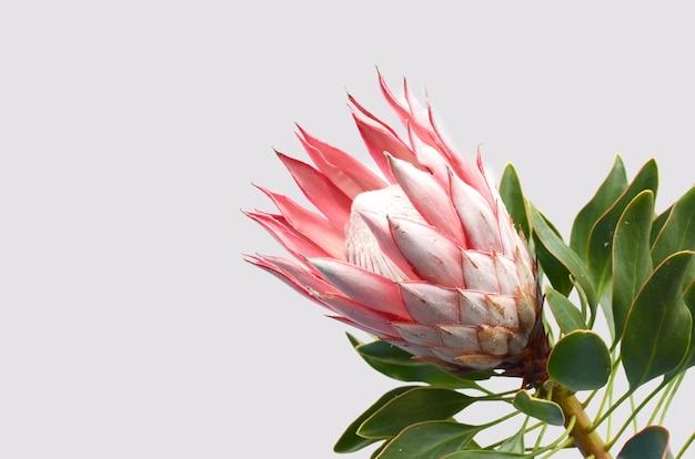白い背景に赤いプロテア花