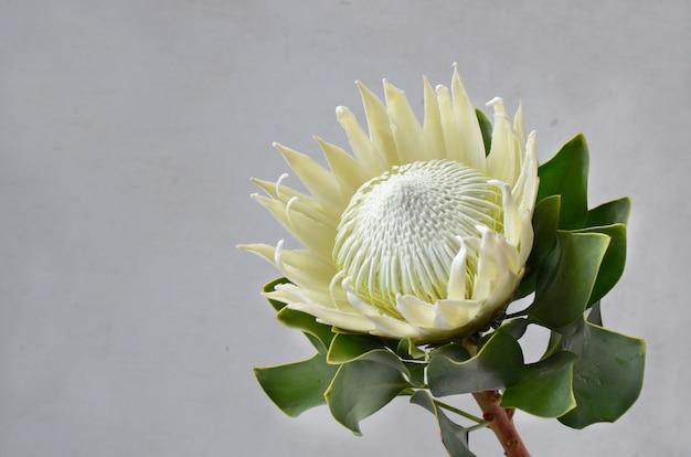 白い背景にあるキングプロテア花束