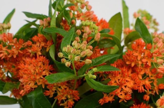 Оранжевый цветок асклепии для фона