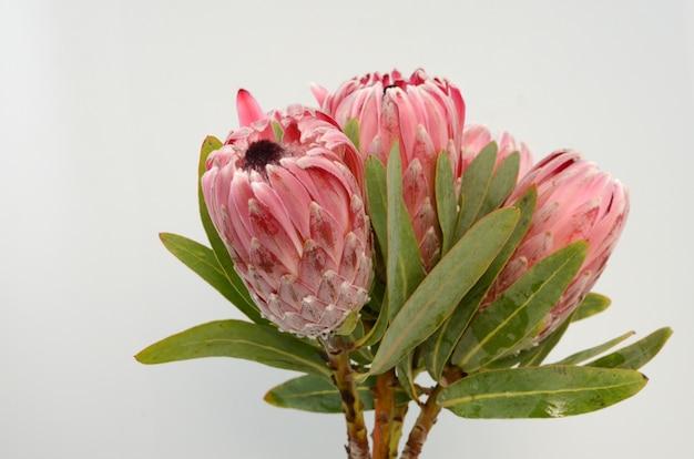 白い背景に赤いキングプロテア植物