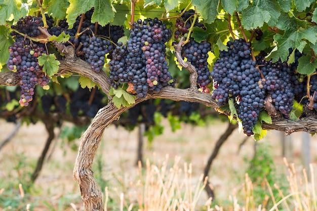 Грейпфрутовый виноградник