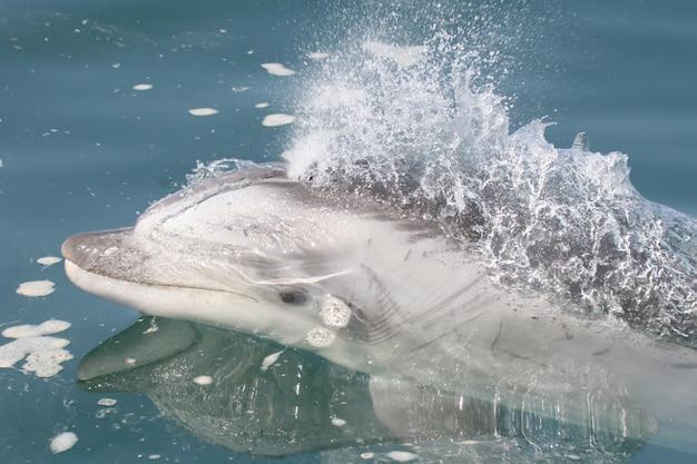 Дикий дельфин-афалин, плавающий рядом с лодкой у берегов перу