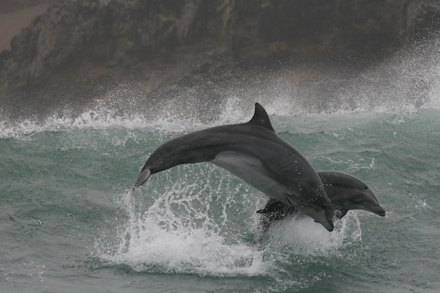 Дикие дельфины-афалины, прыгающие в волнах у берегов перу