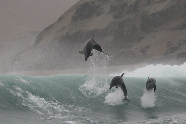 Дикие дельфины-афалины, прыгающие в волнах от перуанского побережья