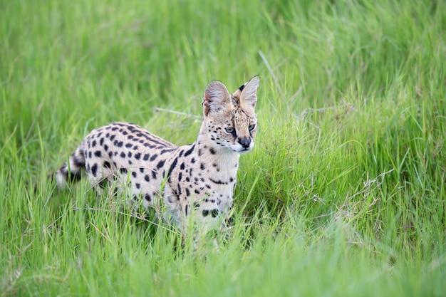 ケニアのサバンナの草原でサーバルキャット