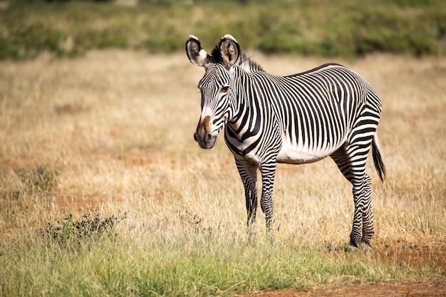 Гречневая зебра в самбуру стоит в саванне