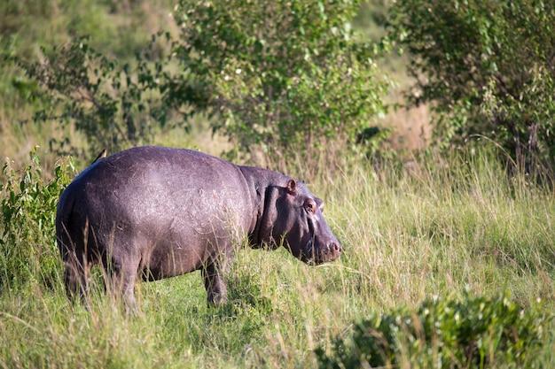 Бегемот бежит по траве луговой