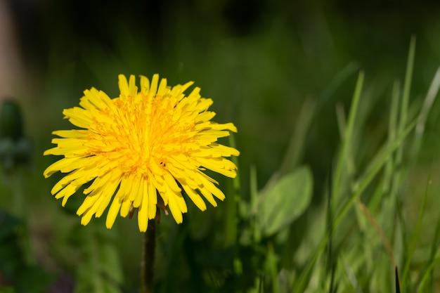 牧草地の緑の草に黄色のタンポポ