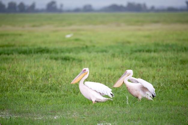 緑の草に立っているペリカン鳥