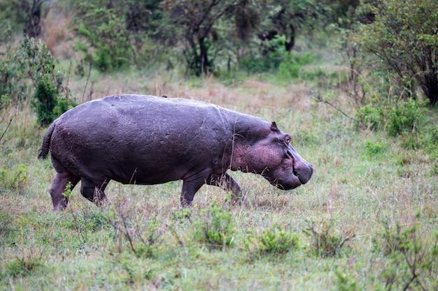 Бегемот в саванне кении