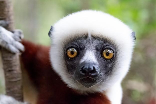 熱帯雨林のシファカキツネザルの肖像画