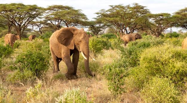 多くの象がジャングルの茂みを通り抜けます
