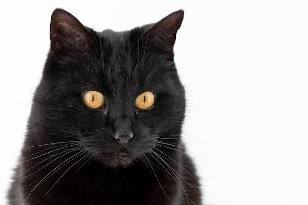 Красивая черная кошка позирует изолированные