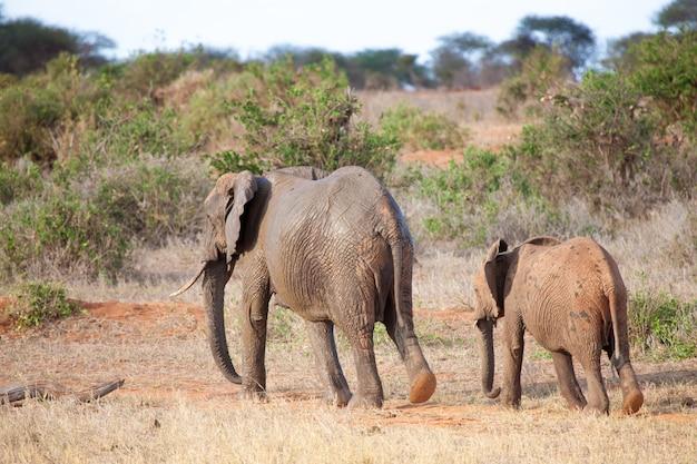 Слоны гуляют в декорациях саванны в кении