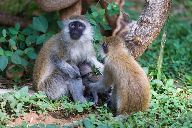 小さな赤ちゃん猿とベルベットの家族