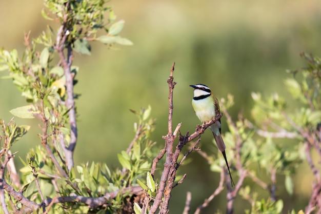 地元の鳥はケニアの枝に座っています