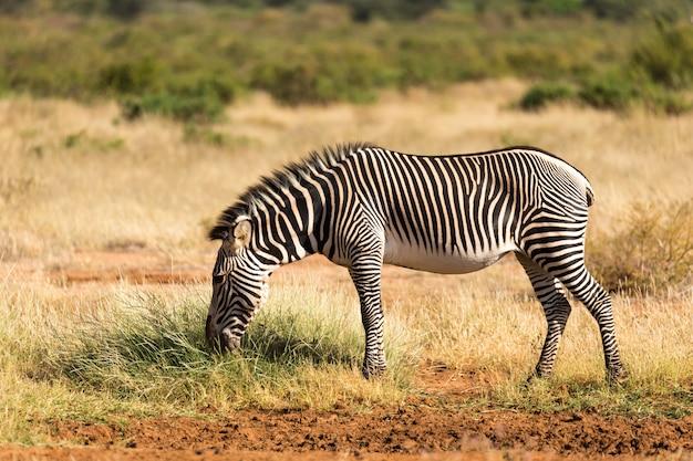 Греви зебра пасется в сельской местности самбуру в кении