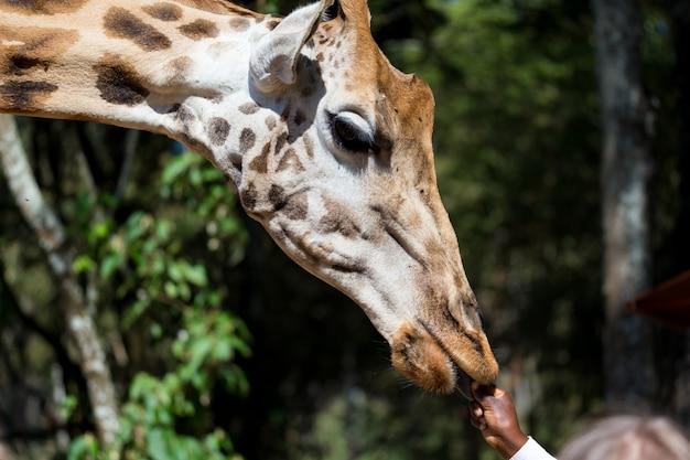 Крупный план головы жирафа