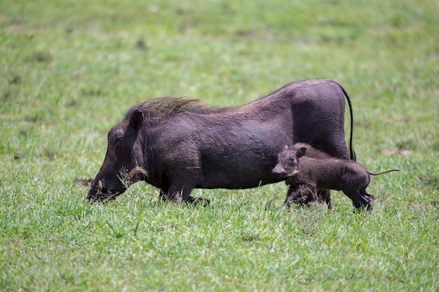 イボイノシシがケニアのサバンナで放牧されています