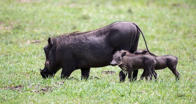 ケニアのサバンナでイボイノシシが放牧している