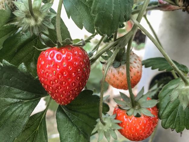有機農場から赤いイチゴを収穫します。