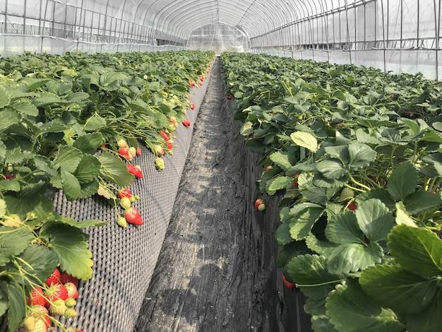 日本の有機農業農地からの熟したイチゴ