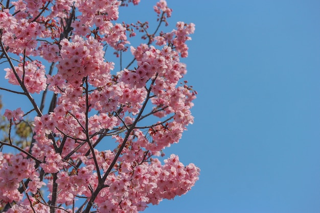 日本の満開のピンクの桜さくら枝木