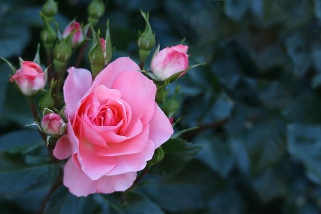 Цветущая розовая роза с зелеными листьями