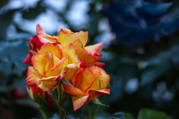 Цветущая оранжевая роза в темноте