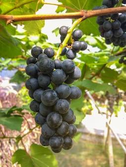 Сбор темного винограда из органического сада